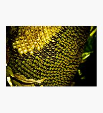 Sunflower Seeds Photographic Print