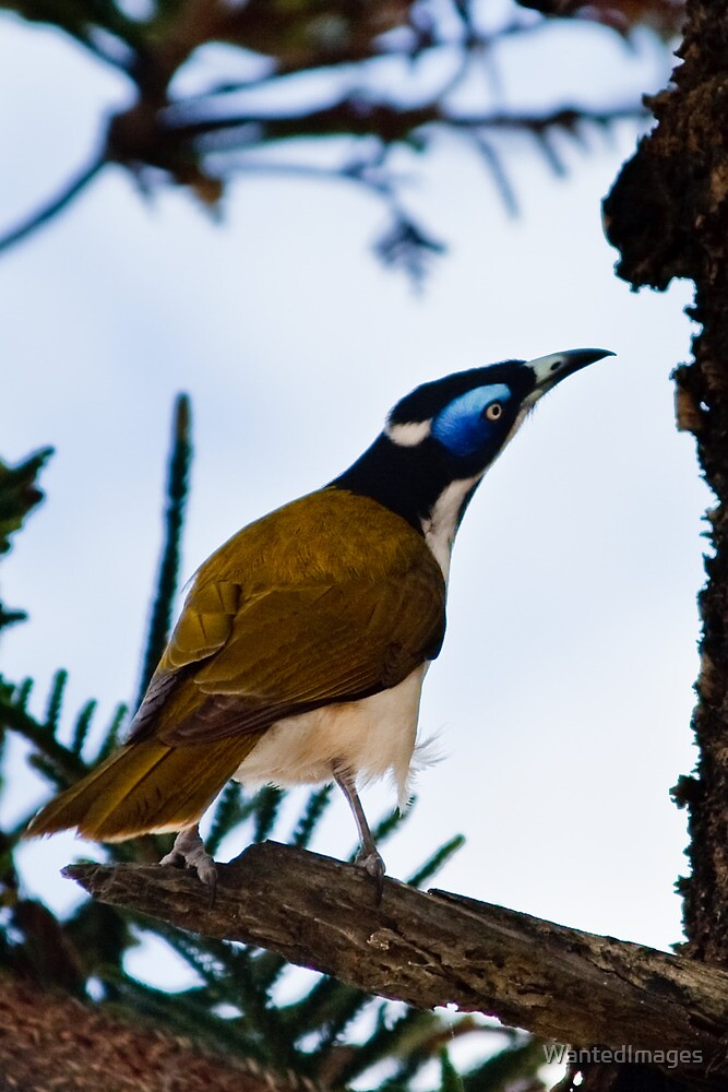 Blue-faced Honeyeater by WantedImages
