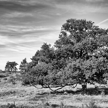 Nationaal Park Veluwezoom Gelderland The Netherlands View over the heathland from the Burgemeester Bloemersweg. Heavily laden oak trees. by stuwdamdorp