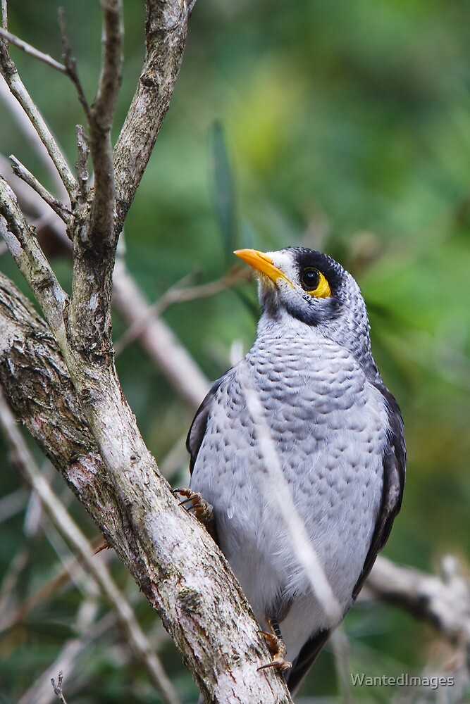 Noisy Miner by WantedImages