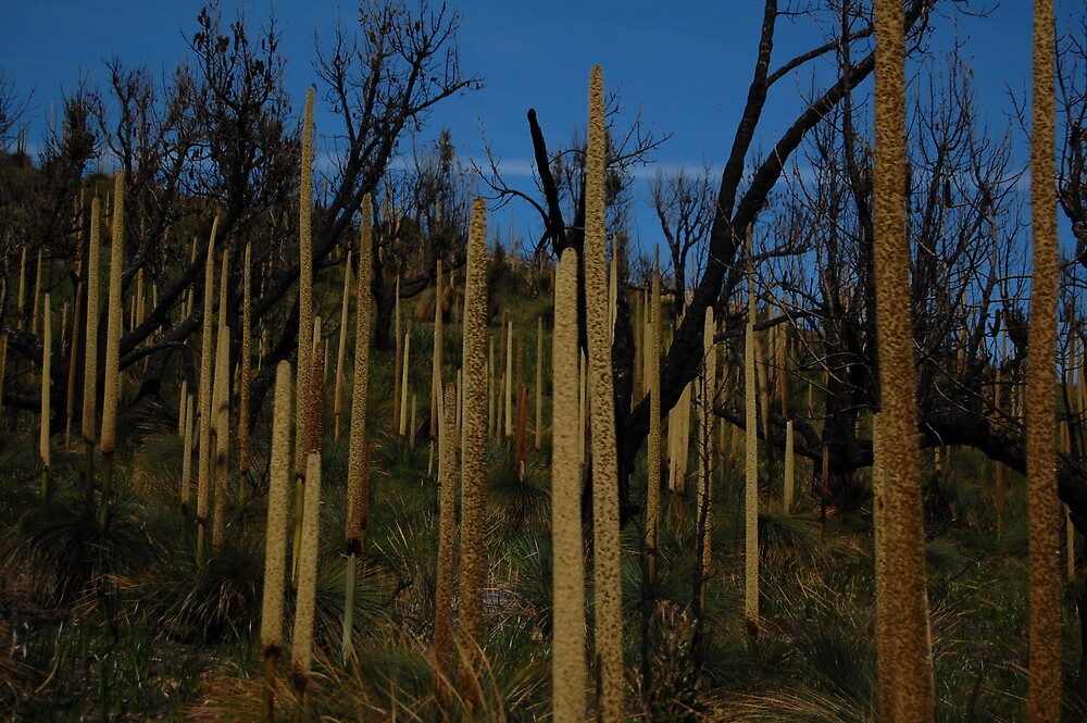 Grass tree's  by Andrew Hennig