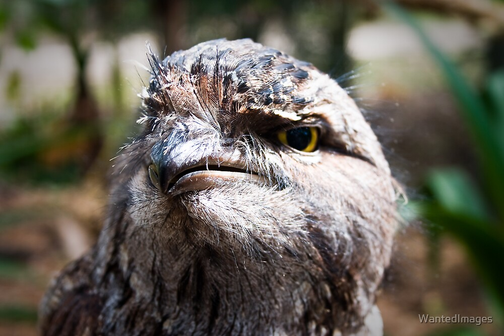 Tawny Frogmouth by WantedImages