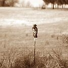 Sitting Hawk by danabee
