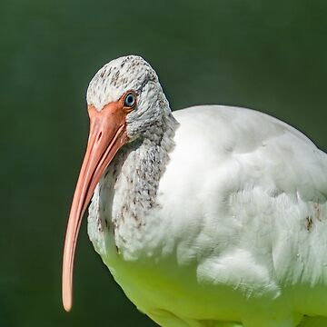 Close up of a black and white Ibis 3 by KensLensDesigns