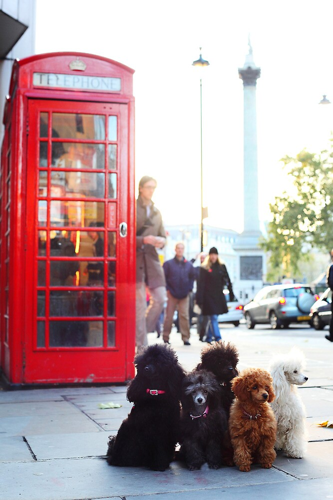 Toy Poodles in London - Strand by Cristina Rossi