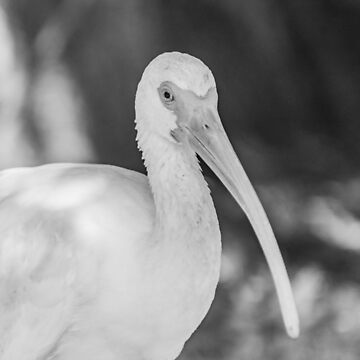 American white ibis black and white Big by KensLensDesigns