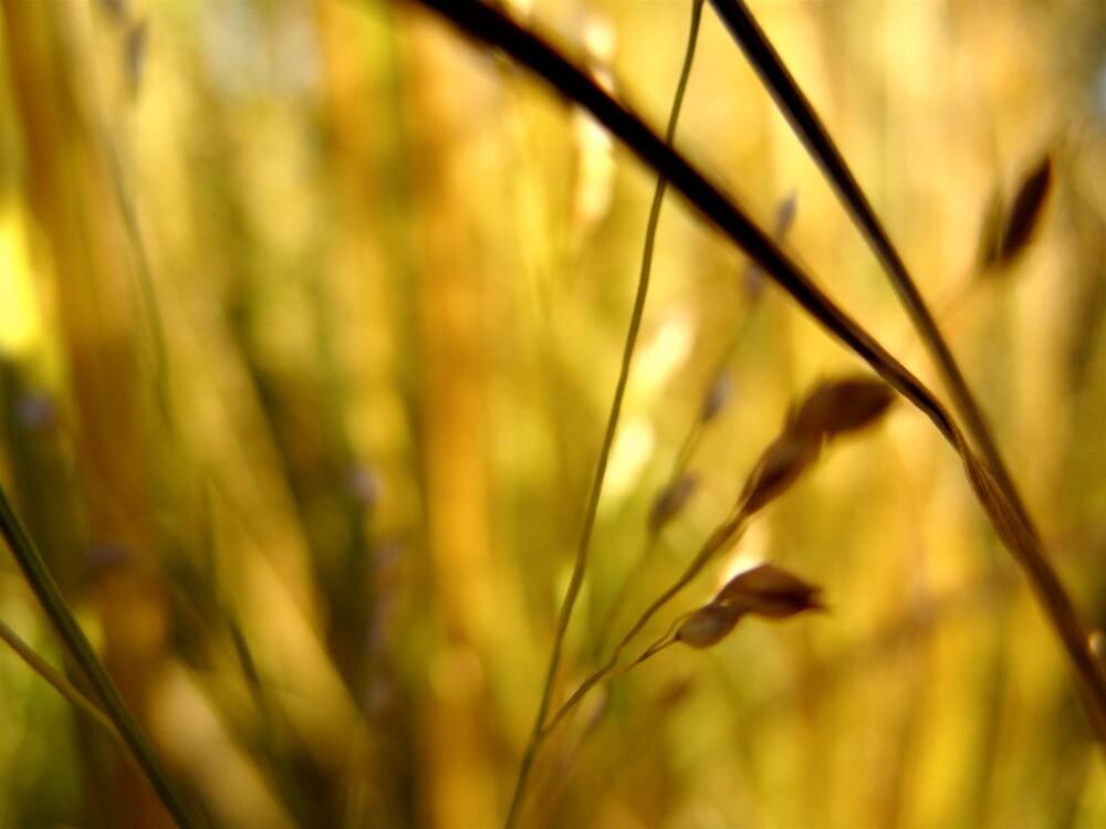Golden Grass by ryanjbolger