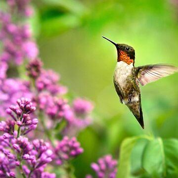 Spring Hummingbird by rollosphotos