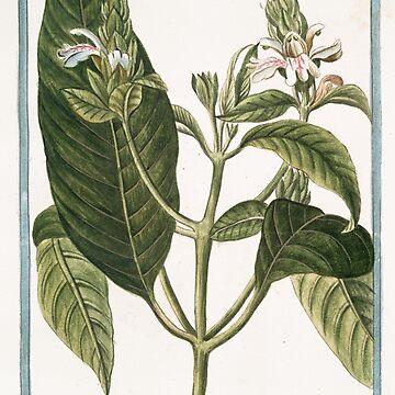 Hortus Romanus Adathoda Zeylanensium by wetdryvac