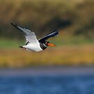 Oyster Catcher by peaky40