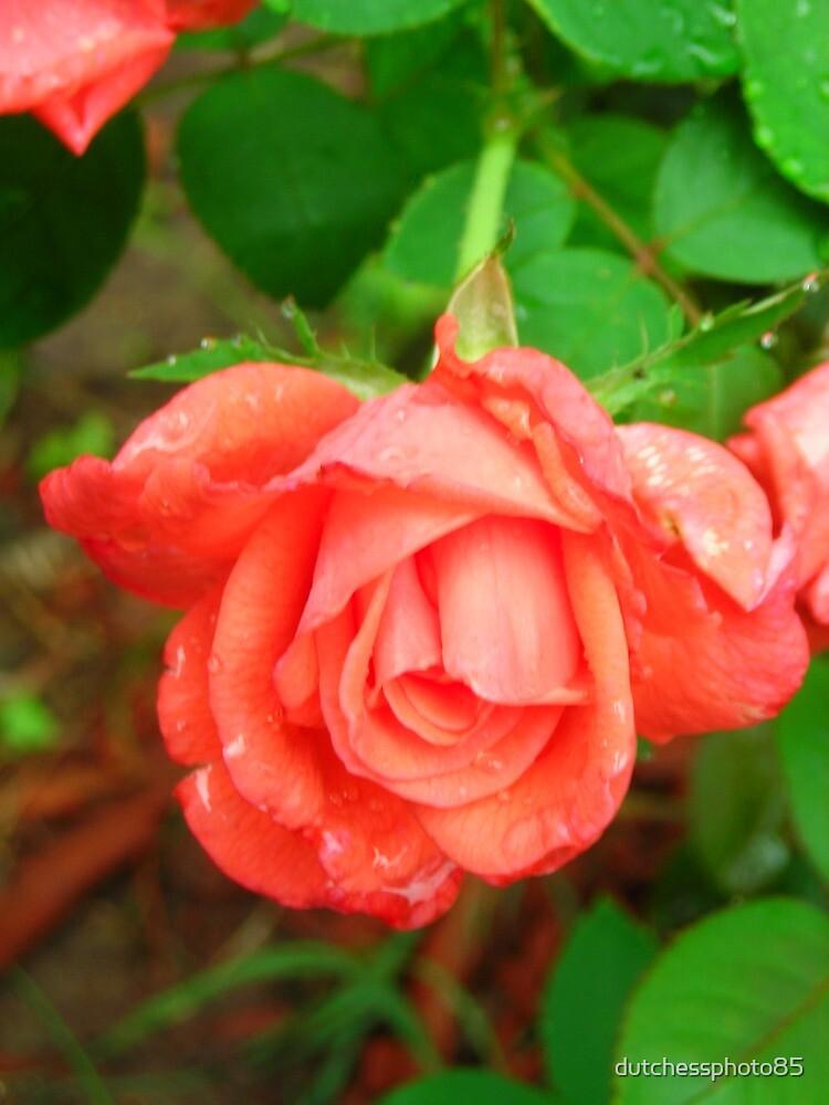 Rain Drops on Roses by dutchessphoto85