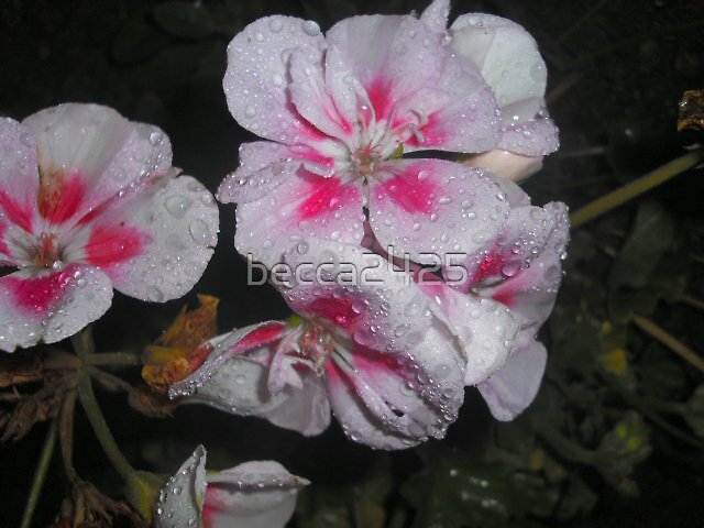 Pink Drops by becca2425