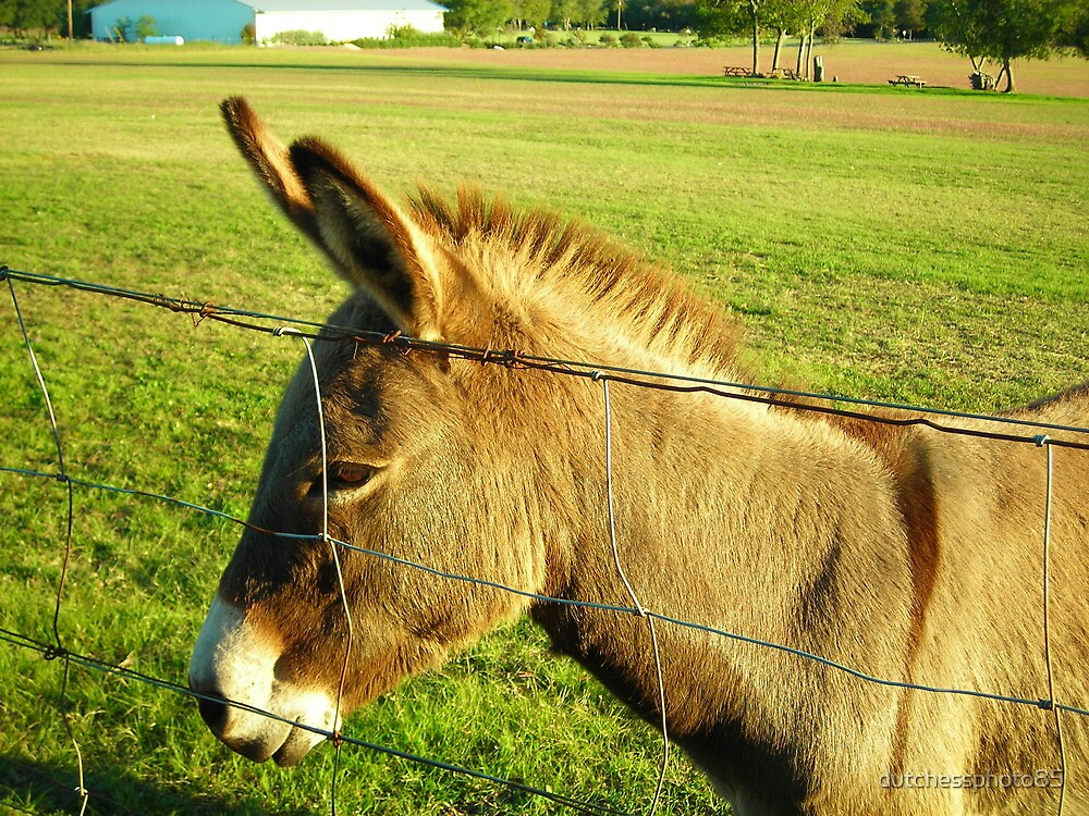Donkey by dutchessphoto85