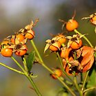 Rose Hips in Autumn by cuprum