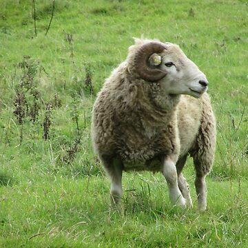 Devon Sheep by lezvee
