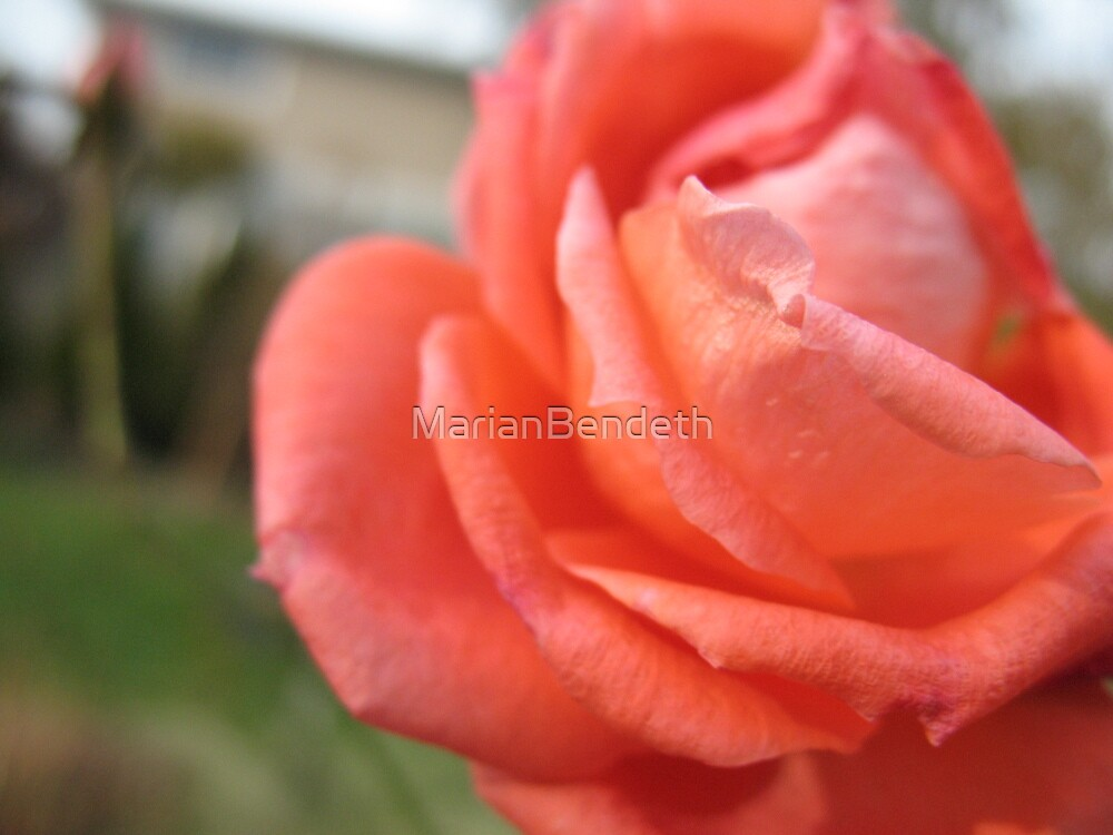 Carmen Miranda Rose by MarianBendeth