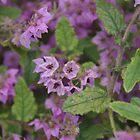 Thomasia purpurea (2) by lezvee