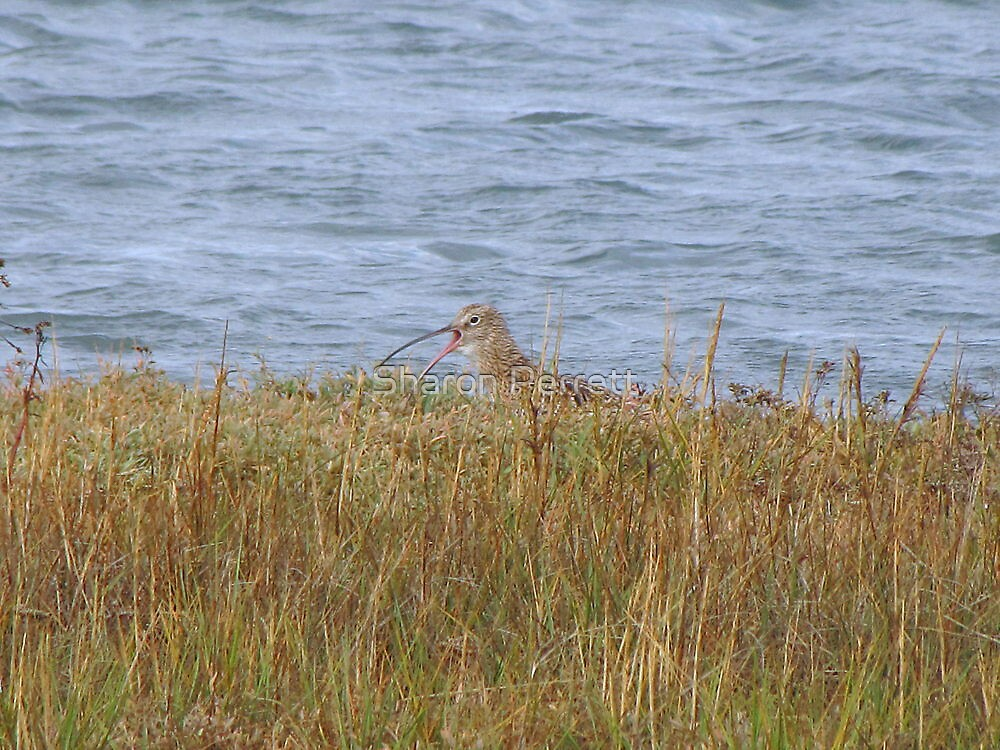 A Curlew Calls by Sharon Perrett