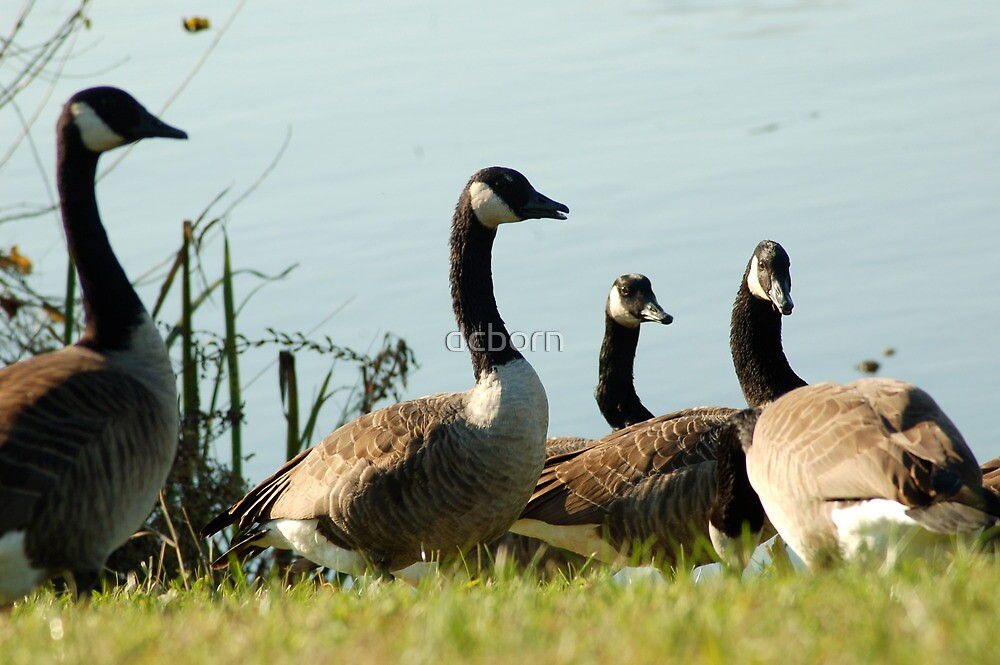 Geese and Geese by dcborn