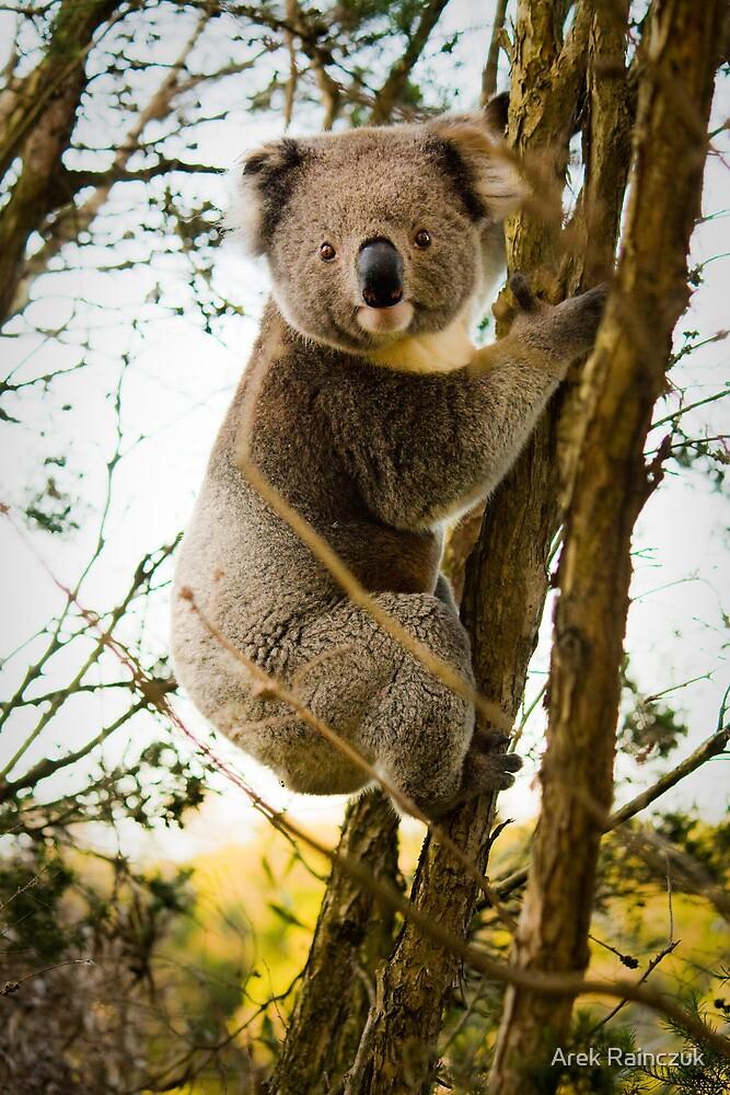 Wild as a koala by Arek Rainczuk