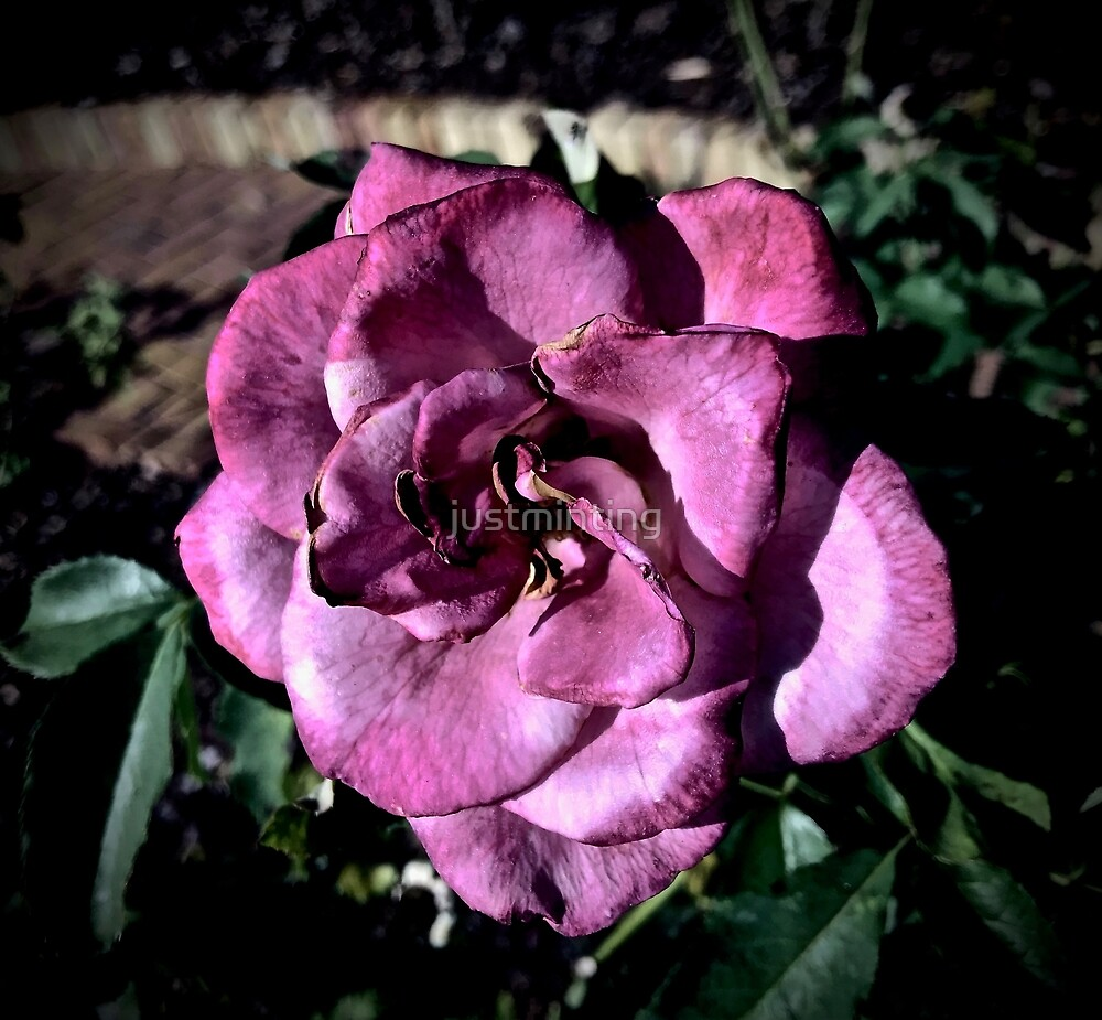 Winter Park Baby Pink Rose by justminting