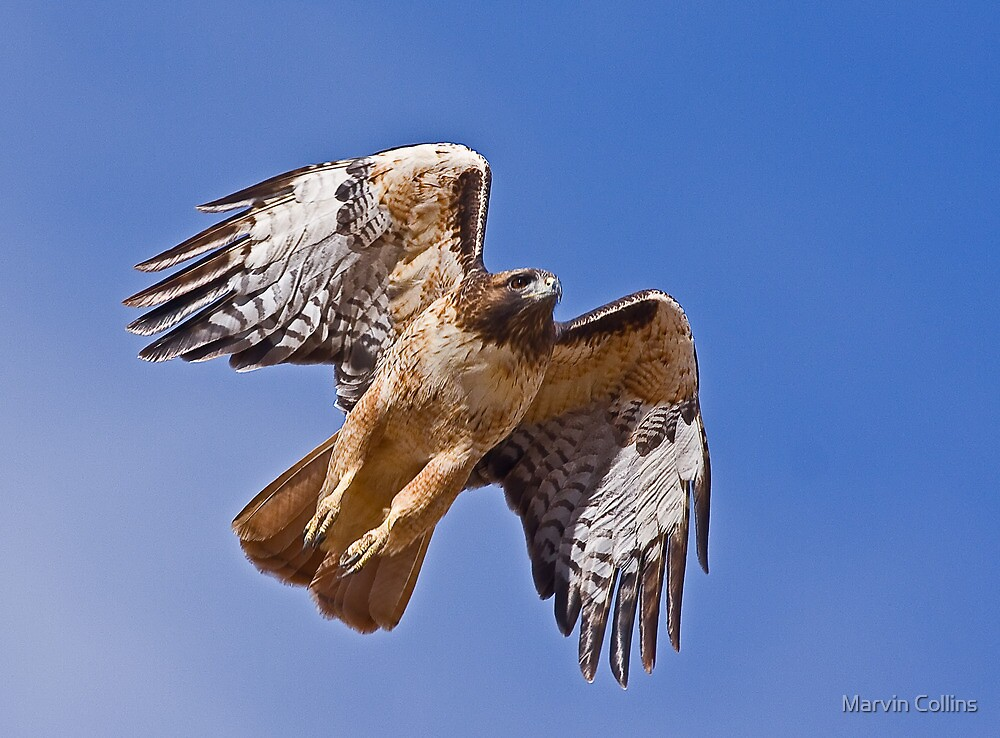 1108092 Red Tailed Hawk by Marvin Collins