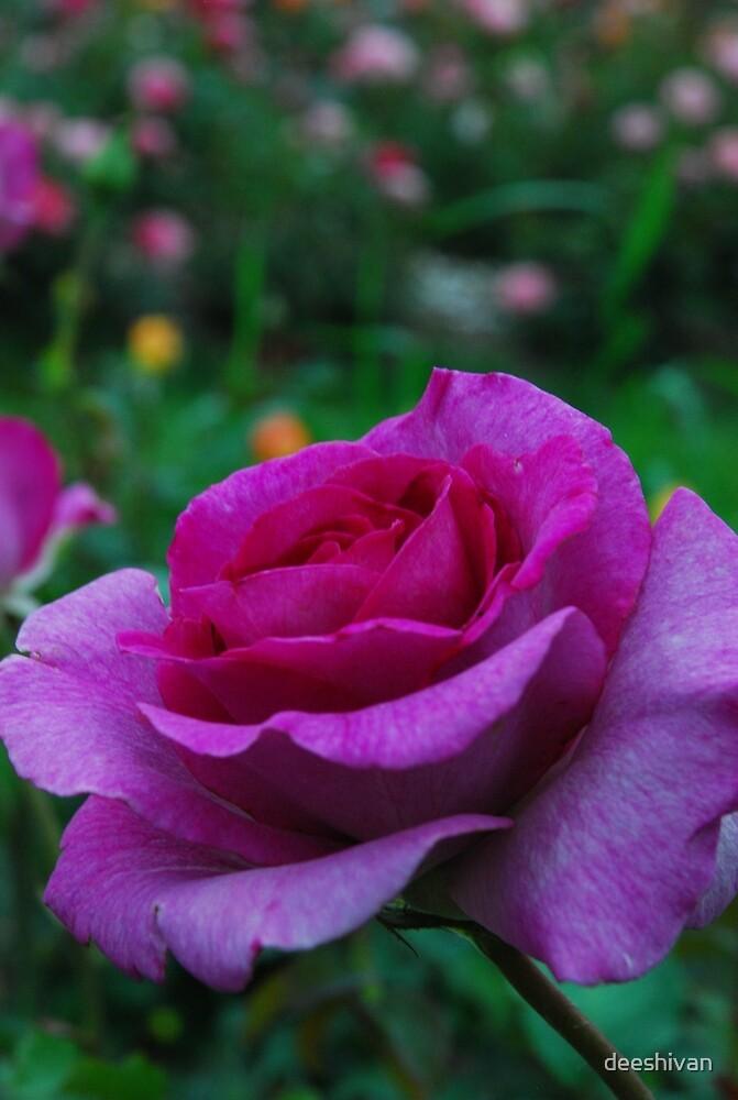 Violet rose by deeshivan