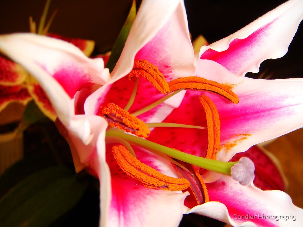 Painted Pistil by Candler Photography