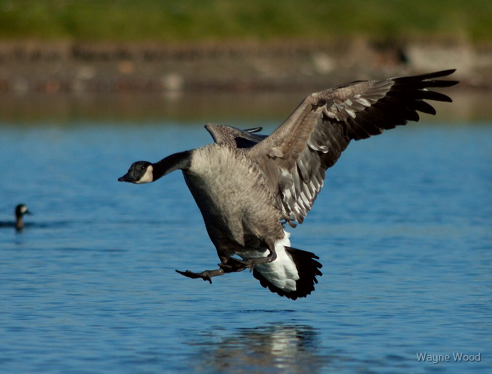 Canada Goose by Wayne Wood