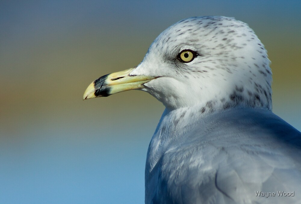 Portrait of a Ring-billed Gull by Wayne Wood
