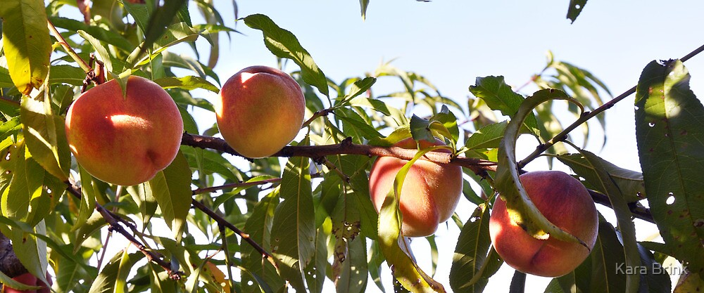 peaches at the lookout farm by Kara Brink