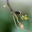 Fly on the Vine by TeAnne