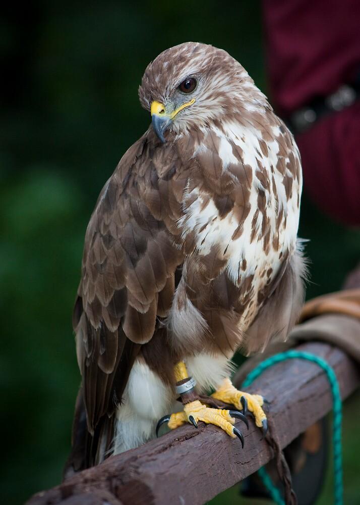 Saker Falcon posing by sanyi
