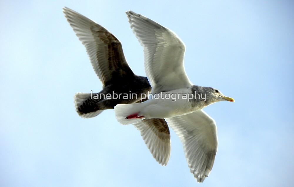 Gulls in Flight #1 by lanebrain photography