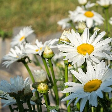 From My Mother's Garden - Fresh Dew and Daisies by GeorgiaM