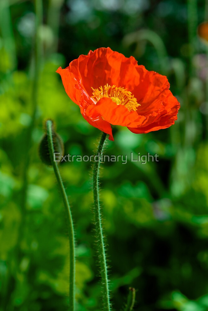 Red Poppy for Remembrance Day by Extraordinary Light