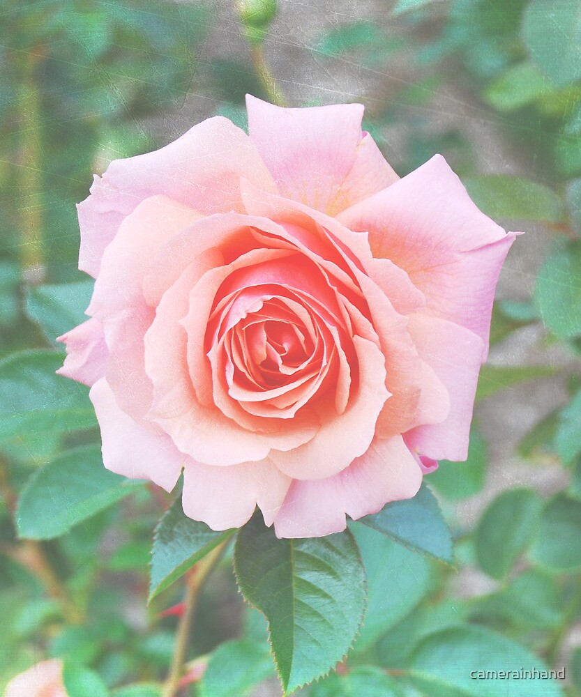 Beautiful Pink/Peach Rose by camerainhand