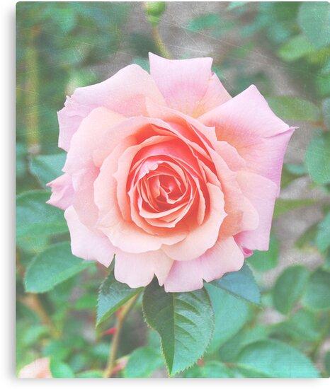 Beautiful Pink/Peach Rose by camerainhand