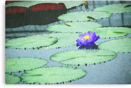 Lonely Water Lily by camerainhand