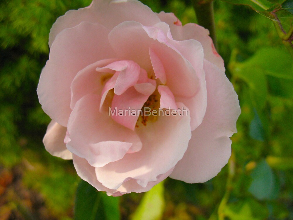 Beating Pink Heart Rose by MarianBendeth
