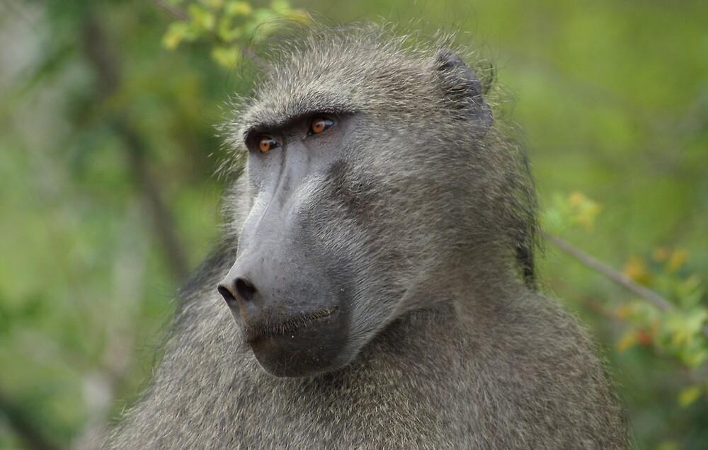 Baboon - WildAfrika by WildAfrika
