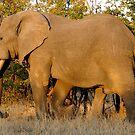 Elephant - WildAfrika by WildAfrika