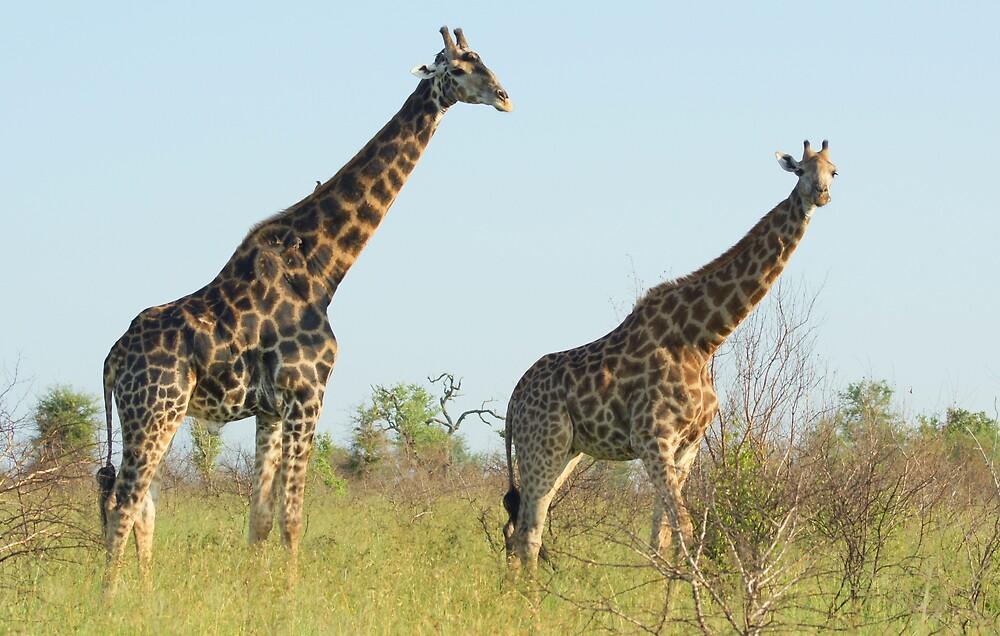 Giraffe - WildAfrika by WildAfrika