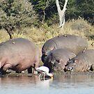 Hippos to Water - WildAfrkia by WildAfrika