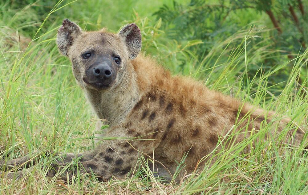 Hyena - WildAfrika by WildAfrika