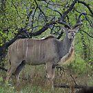 Kudu - WildAfrka by WildAfrika