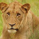 Lion Portrait 2 - WildAfrika by WildAfrika