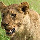 Lion - WildAfrika by WildAfrika