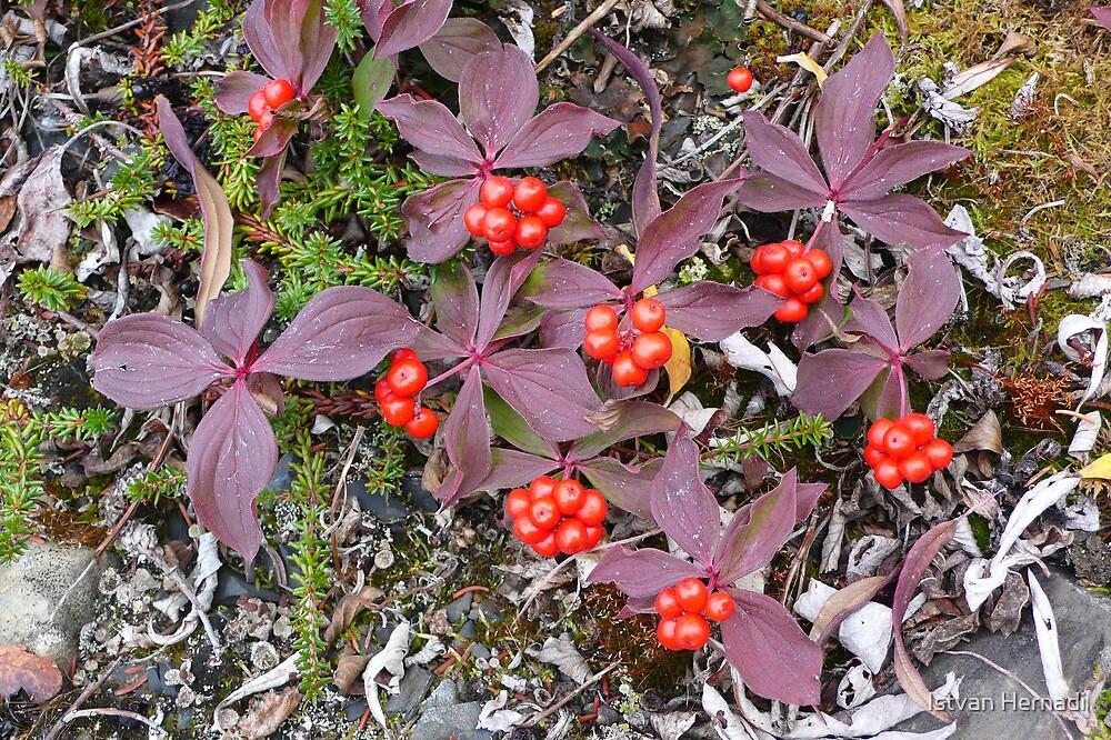 berries by Istvan Hernadi