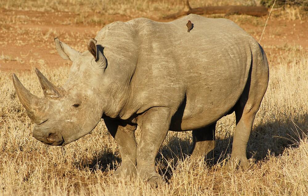 Rhino - WildAfrika by WildAfrika